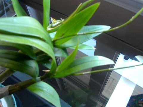 Dendrobium Care Part 4 Mealy Bugs Gone Youtube Orchids