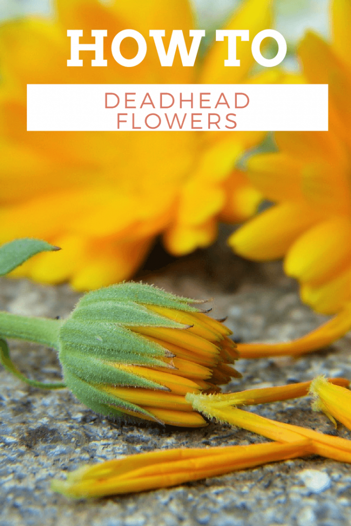 The Easiest Way to Deadhead Flowers is part of Rose garden Drawing - Deadheading flowers is totally easy and totally fun but it's one of those chores that must be done! Across lots of different garden flowers like roses, marigolds, daisies and more, most flowering plants need a regular schedule of deadheading