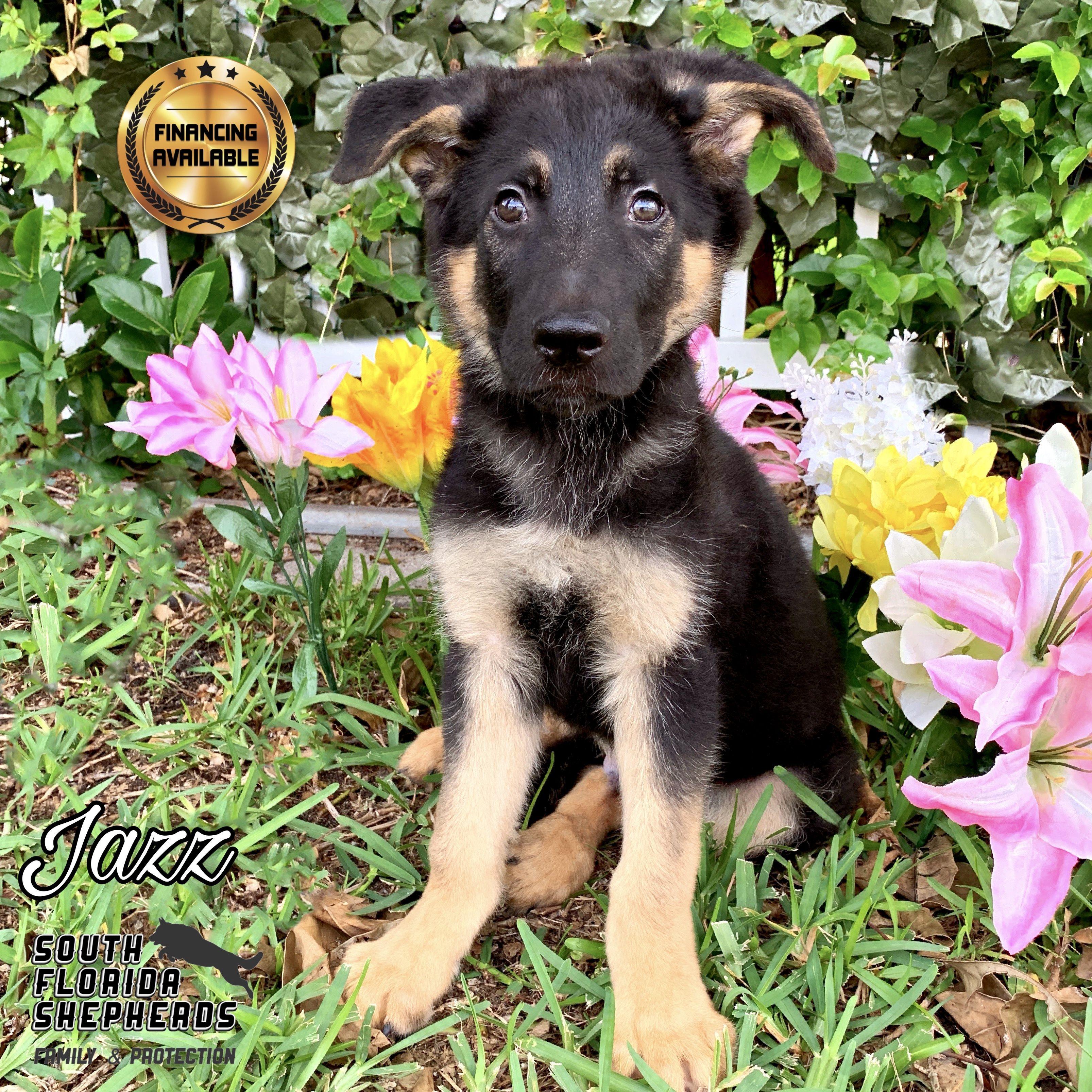 South Florida German Shepherds a world class German