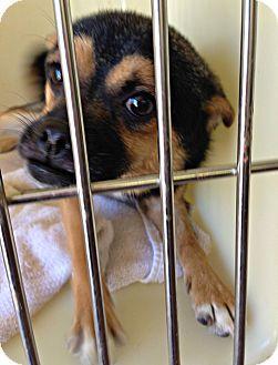Durham, NC - Chihuahua/Rat Terrier Mix. Meet Count, a dog for adoption. http://www.adoptapet.com/pet/14129874-durham-north-carolina-chihuahua-mix