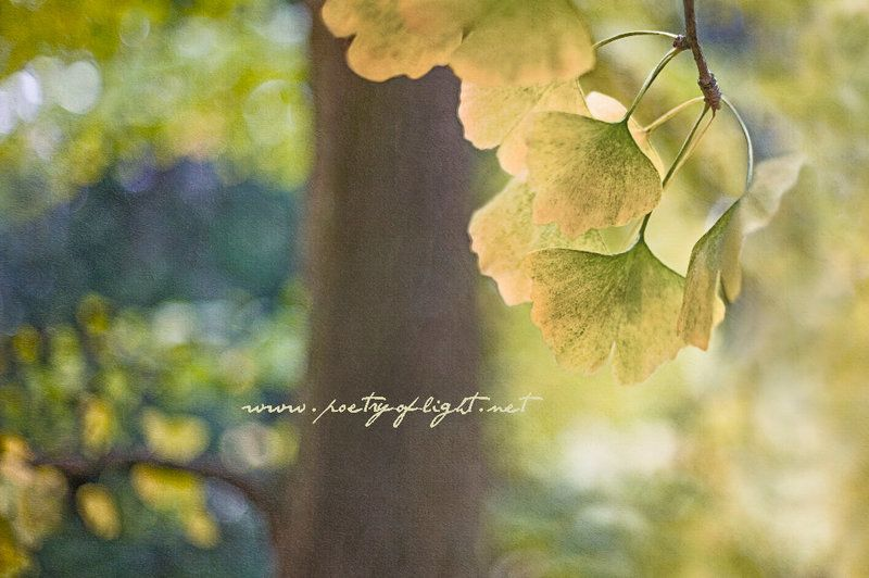"""Autumnal splendour """"Ginkgo biloba"""" with texture from French Kiss Textures"""