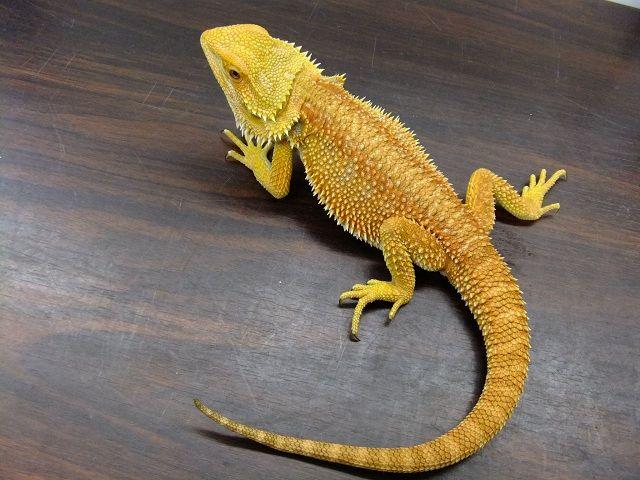 トカゲ Lizard 爬虫類ショップ マニアックレプタイルズ 多忙店主 スタッフブログ トカゲ 爬虫類 フトアゴ