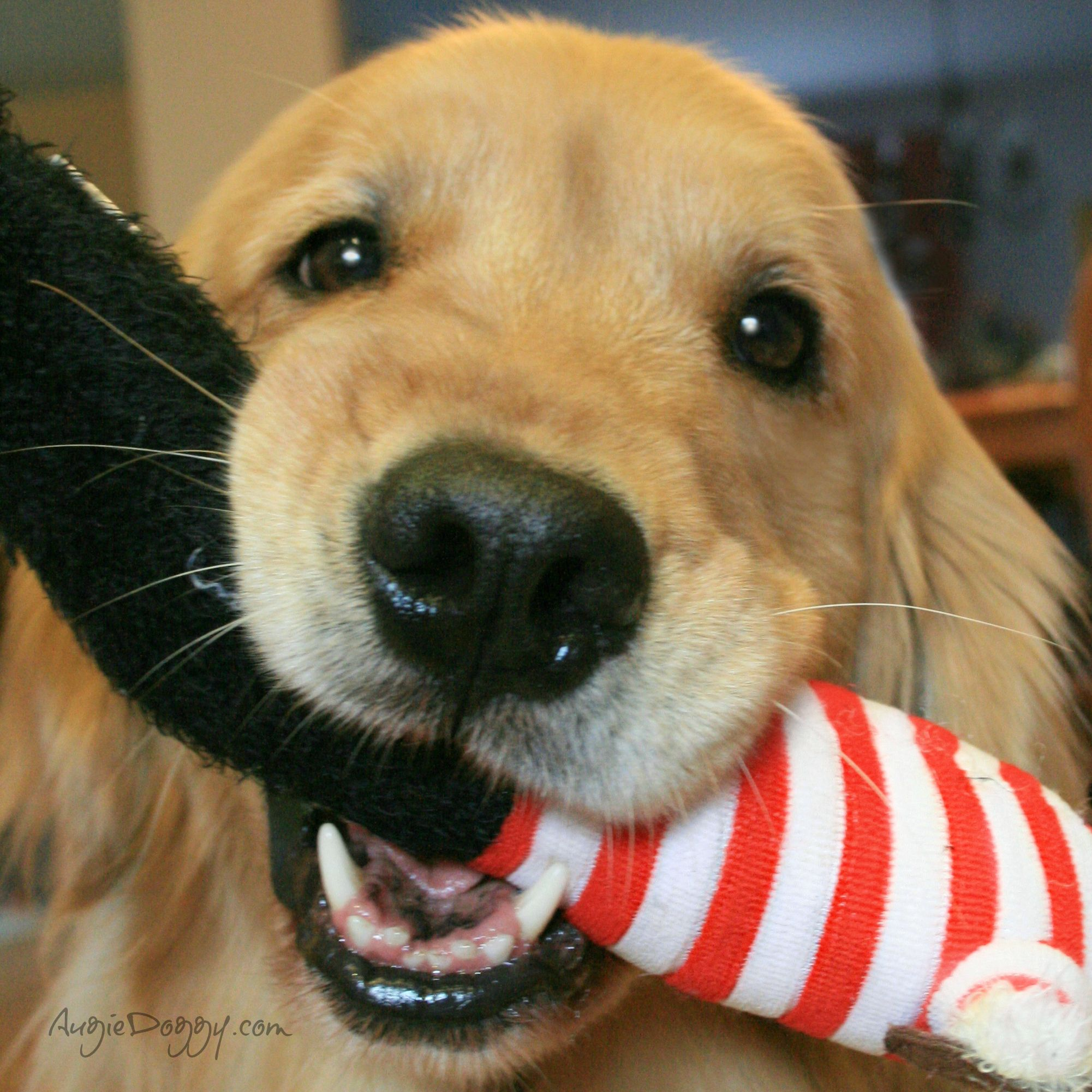 Wanna Play With Me Www Augiedoggy Com Apps Blog Dogs Golden