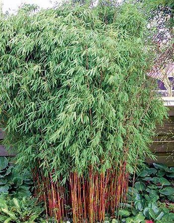fargesia nitida red dragon pr sentation bamboo. Black Bedroom Furniture Sets. Home Design Ideas