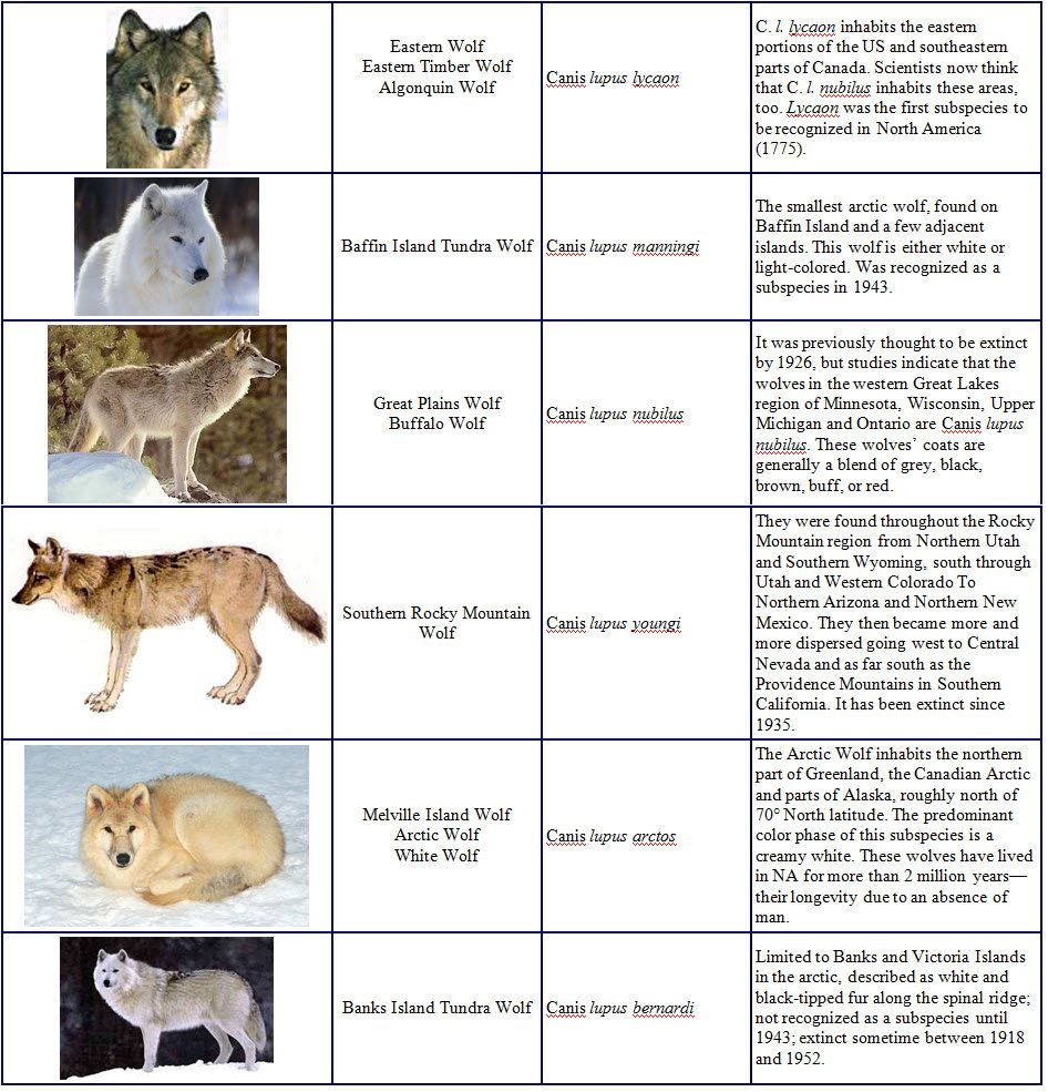 Canis lupus 101: Wolf Species | Types of wolves, Wolf, Arctic wolf