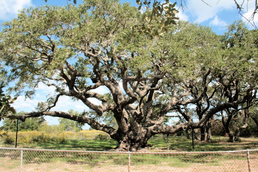 state tree of texas only texas state champion live oak since 1966