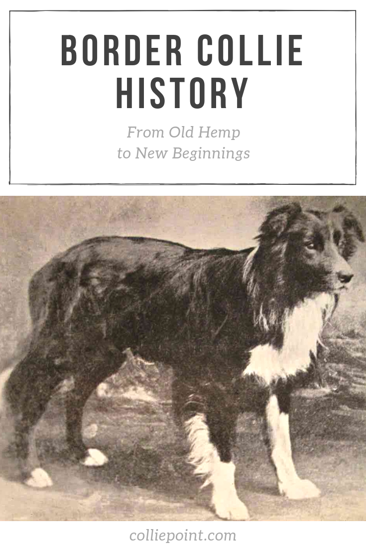 Border Collie History From Old Hemp To New Beginnings Collie Border Collie Dogs