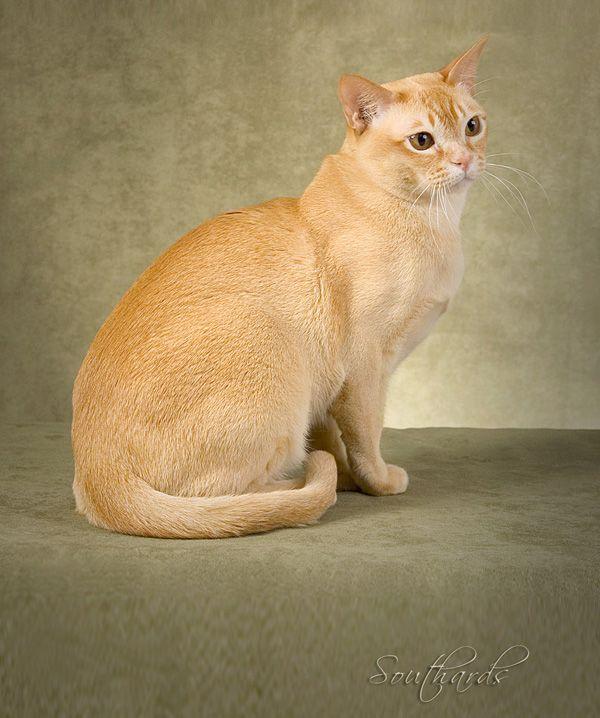 My Very Special Burmese Cat Burmese Cat Cat Breeds Cute Cats