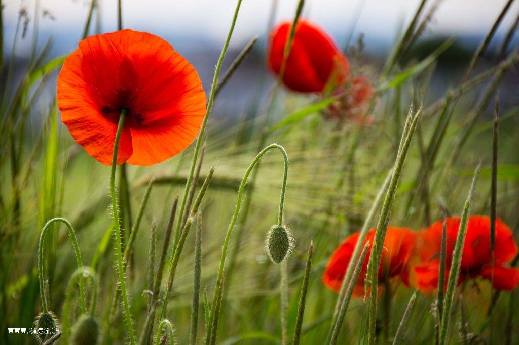 Satz Rote Mohnblumen Und Ganseblumchen Handzeichnung Vektor