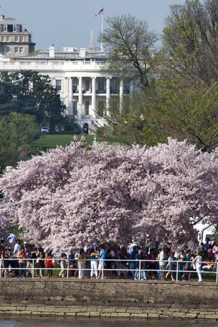 Cherry Blossom Festival White House In The Background Washington Dc Cherry Blossom Festival Cherry Blossom Japan Cherry Blossom