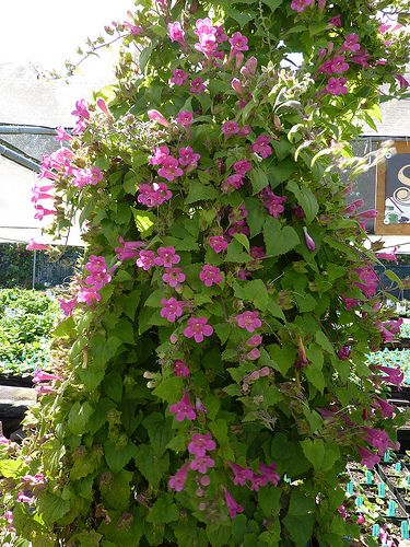 Asarina Erubescens Shade Plants Plants Outdoor Plants