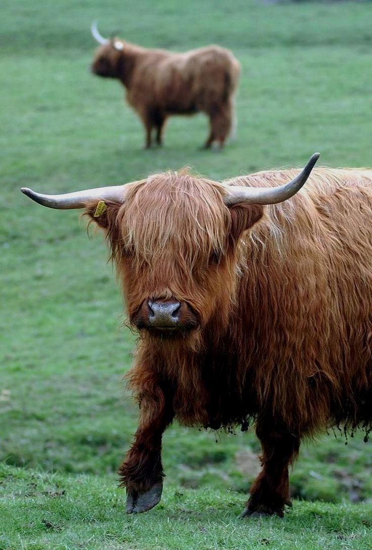 Pin by Stephanie M. Clevenger on cows Highland cow