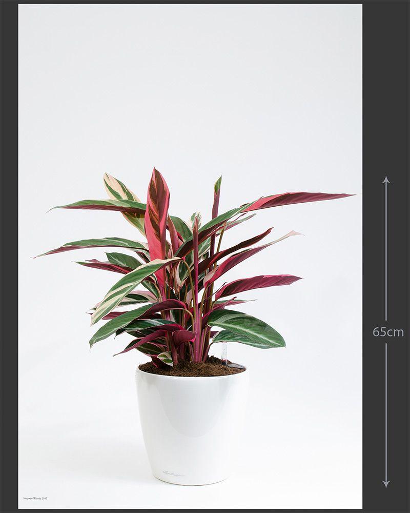 Zz Plant Zenzi