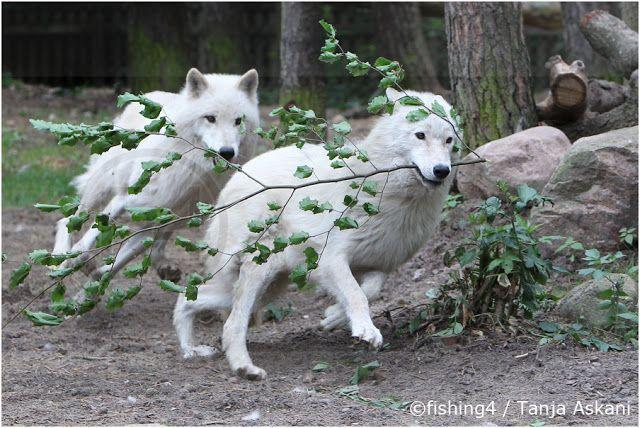 White Wolves (Photo By: © Tanja Askani - Wildlife Photographer & Wolf Expert.)
