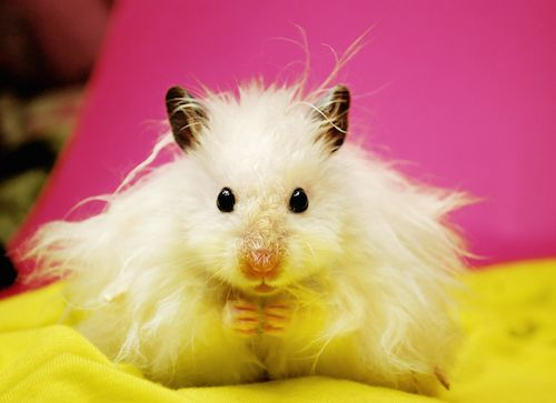 Syrian Hamster Breeds How To Take Care Of A Hamster Syrian Hamster Hamster Funny Hamsters
