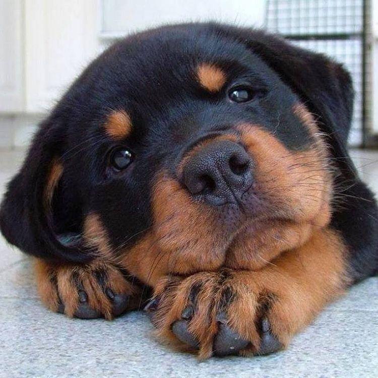 Cute Puppy Dog Animal Pets Rottweiler Puppies Dog