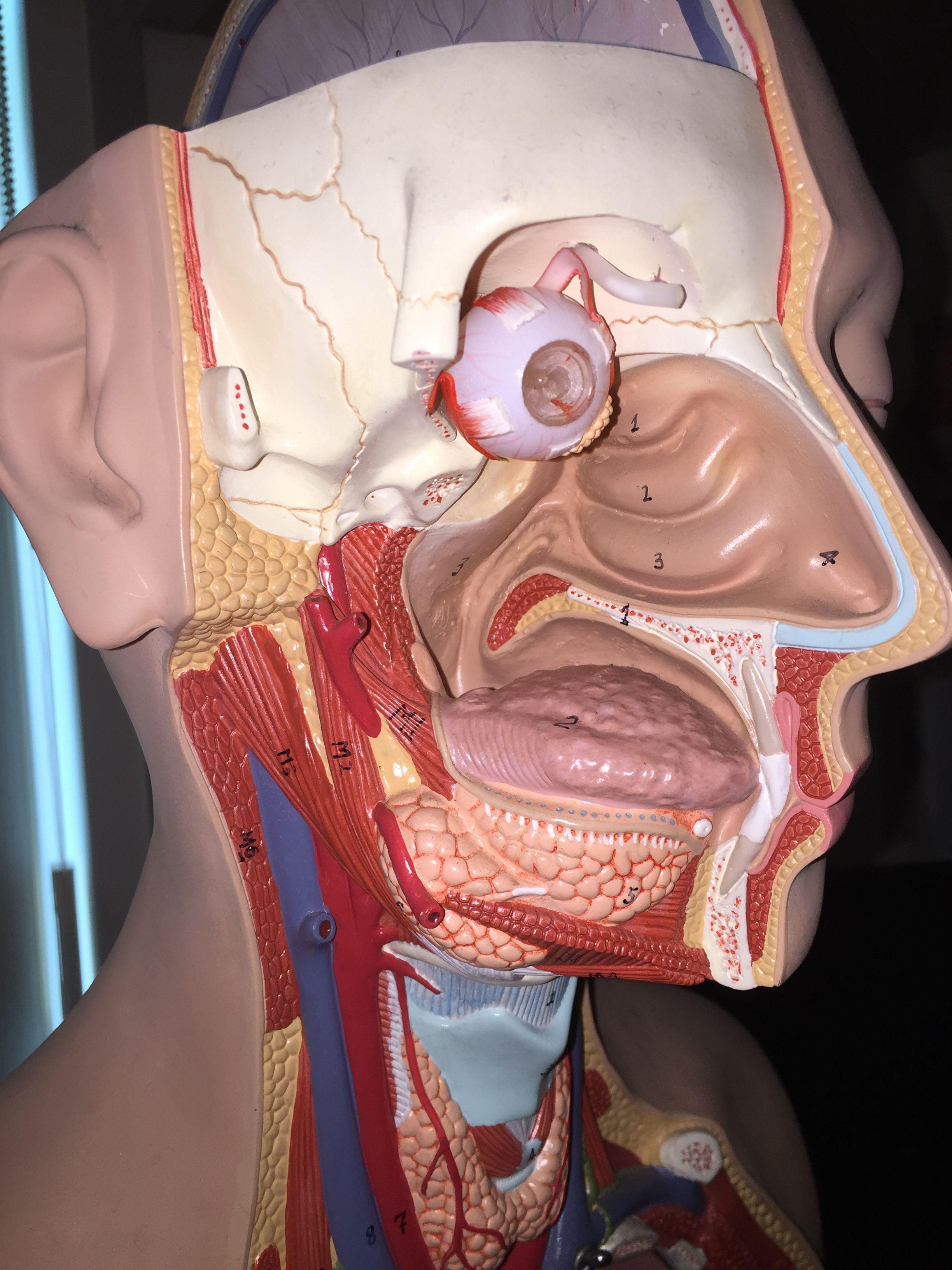 Parotid gland (large near ear) Sublingual gland (under tongue ...