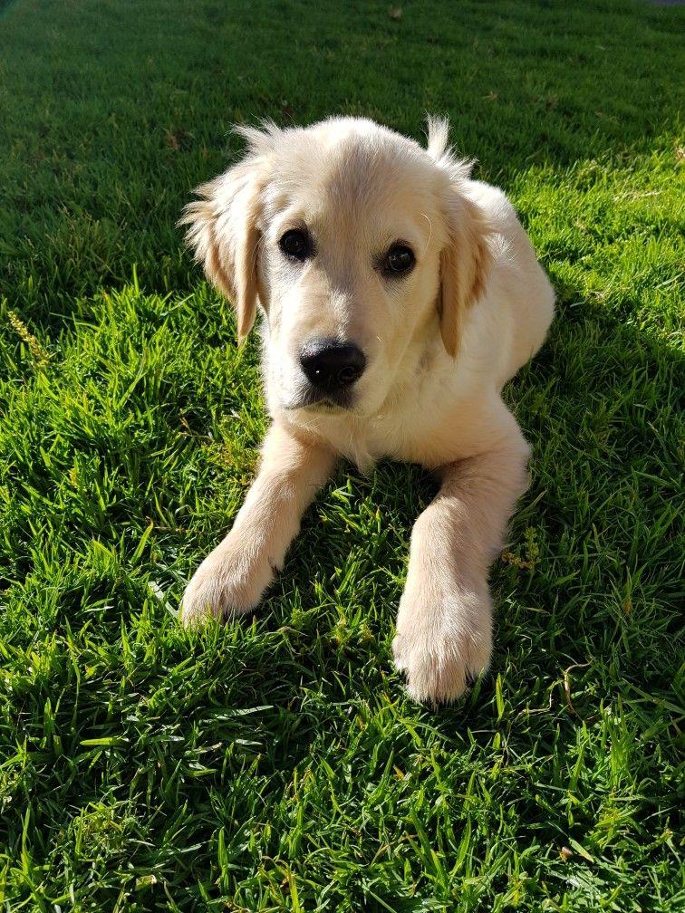 Handsom Boy 13 Weeks Old Little Dogs Labrador Puppy I Love Dogs