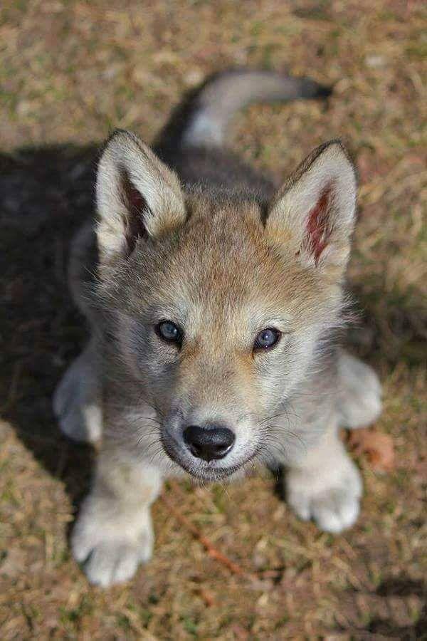 SAVE THE WOLVES | Cuteness | Pinterest | Lobos, Animales y Anatomía ...