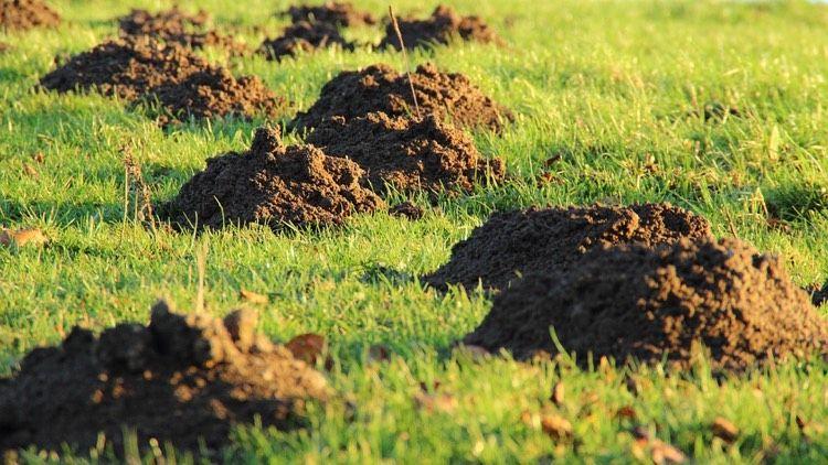 Löcher Im Rasen Und Im Gartenboden Welches Tier Buddelt Da Garten