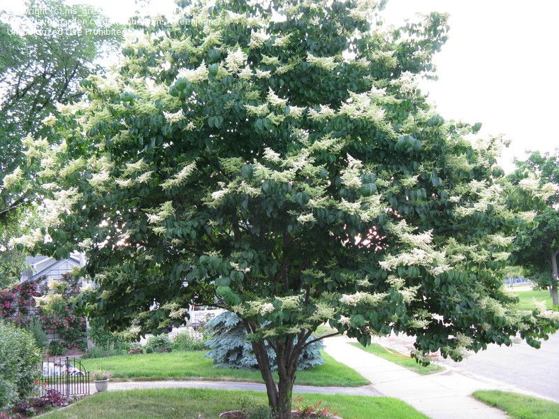 Japanese lilac tree syringa reticulata must have garden love japanese lilac tree syringa reticulata must have publicscrutiny Image collections