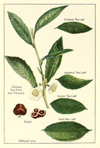 Botanical drawing of Camellia sinensis (that's tea!) www.adagio.com