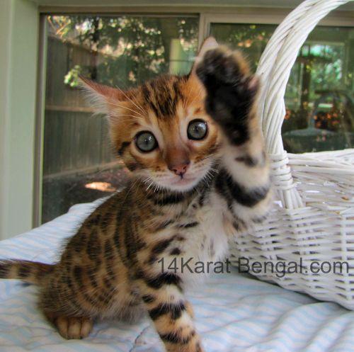 14karat Bengal Kitten Reserved For Nathan In Phoenix Az Bengal