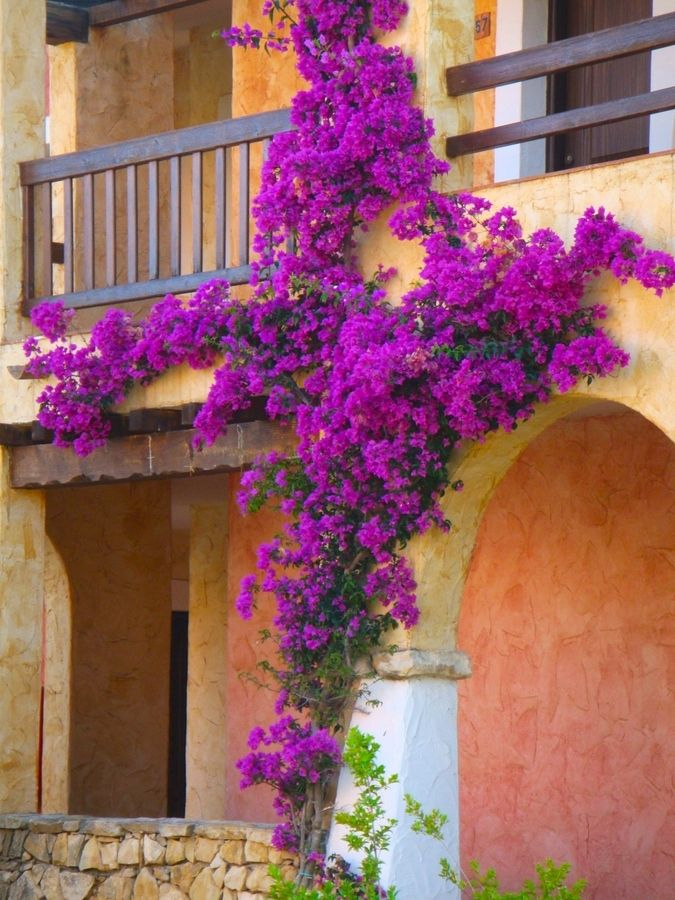 Bougainvillea Flower If I Want To Rip Out That Tree By