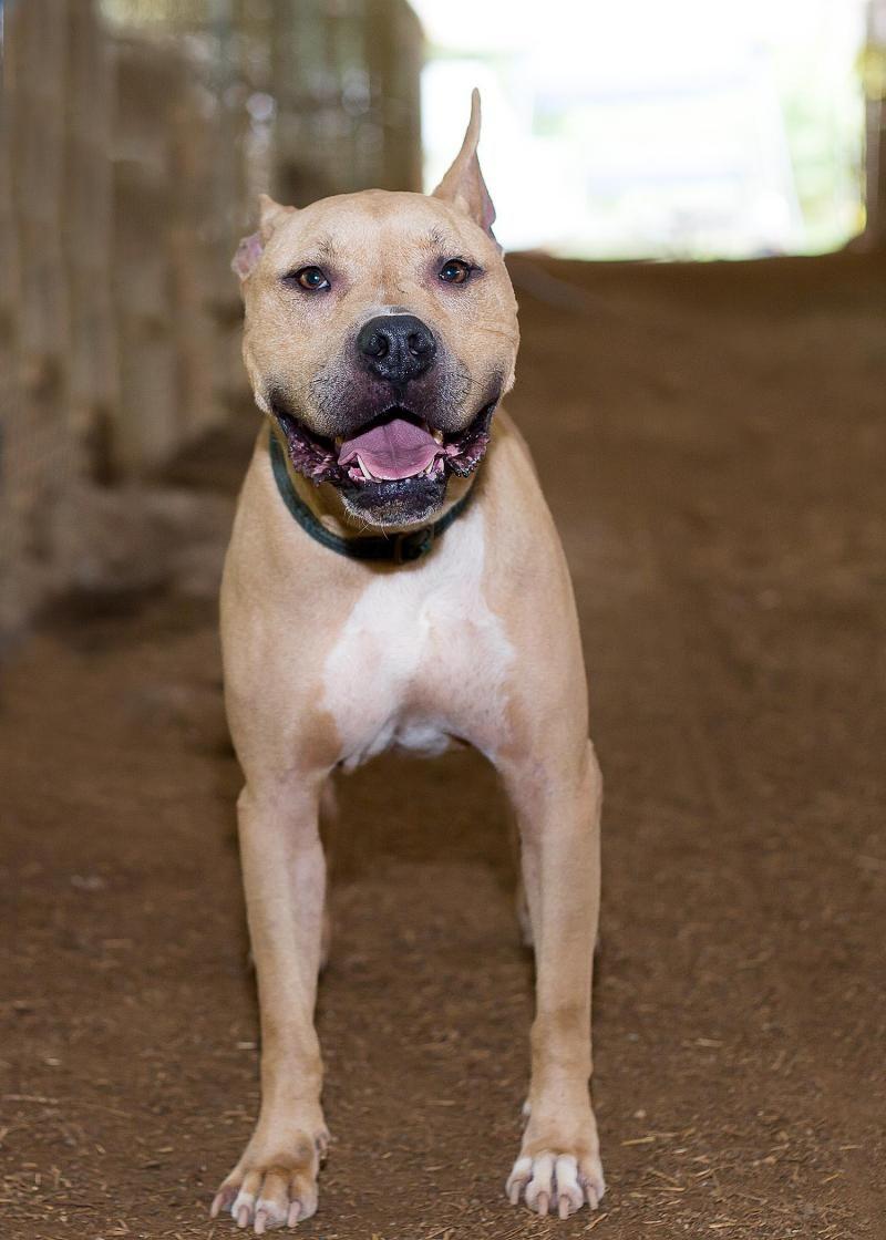 Adopt Sudz On Great Dane Mix Adoption Pitbull Terrier