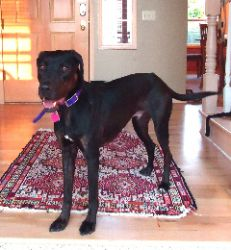 Blaze is an adoptable Catahoula Leopard Dog Dog in Bellingham, WA. Blaze is a very handsome, three-year-old Catahoula Leopard dog who weighs fifty eight pounds. His fur is mostly black with light brow...