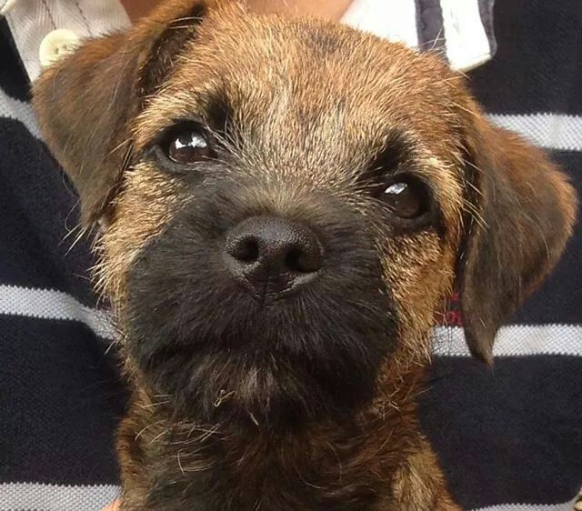 Beautuful Face Border Terrier Puppy Terrier Border Terrier