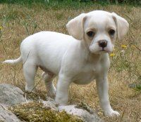 New Favorite Dog Royal Frenchel Cross Between French Bull Dog