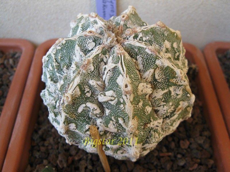 astrophytum myriostigma cv  fukuryu hakuun haku