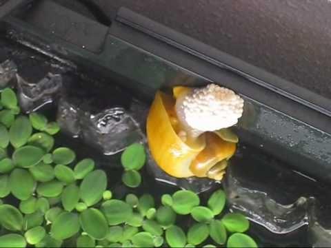 Apple snail lay eggs alt muligt om og til fisk for Snail eggs in fish tank