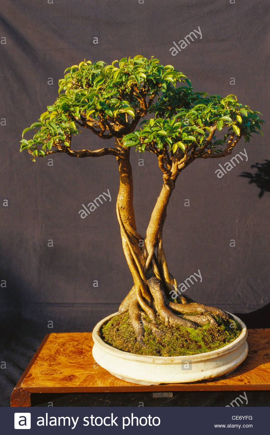 Bonsai Ficus Microcarpa Ginseng Pflege Rose Glen North Dakota Try These Bonsai Ficus Benjamina Pflege