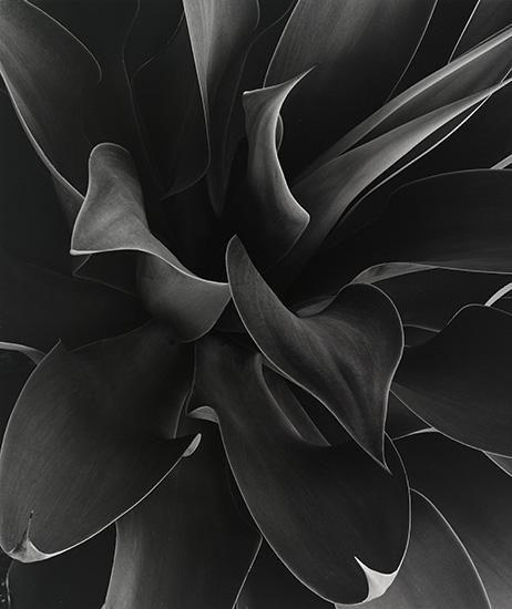 Untitled (plant study) - Brett Weston