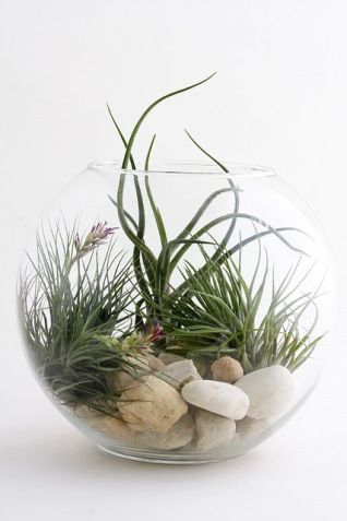 Air plants arranged in a pretty glass bowl with white beach stones. Very attractive arrangement.
