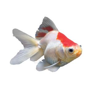 Red and white ryukin goldfish live fish petsmart for How much are fish at petsmart