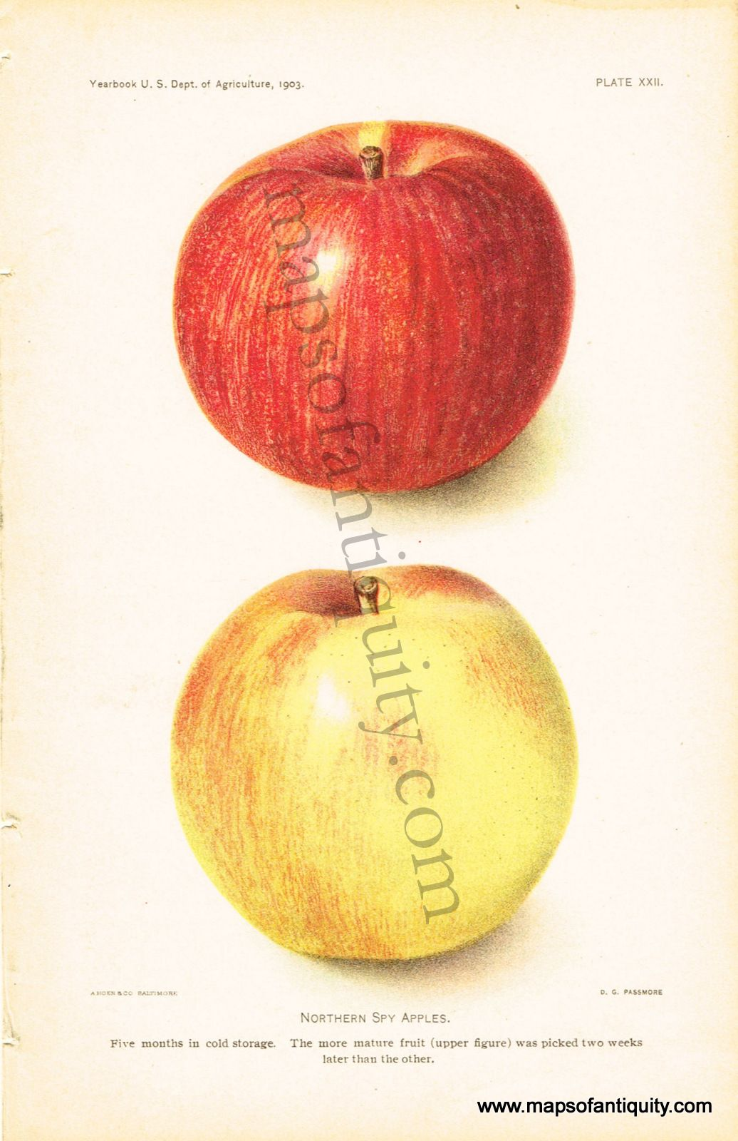 Northern Spy Apples Antique Maps and Charts Original
