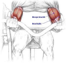 Bicep curl   Muscle Diagrams   Pinterest   More Biceps workout ideas