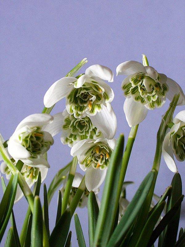 Double Snowdrops Galanthus Flowers Doubles Bloom