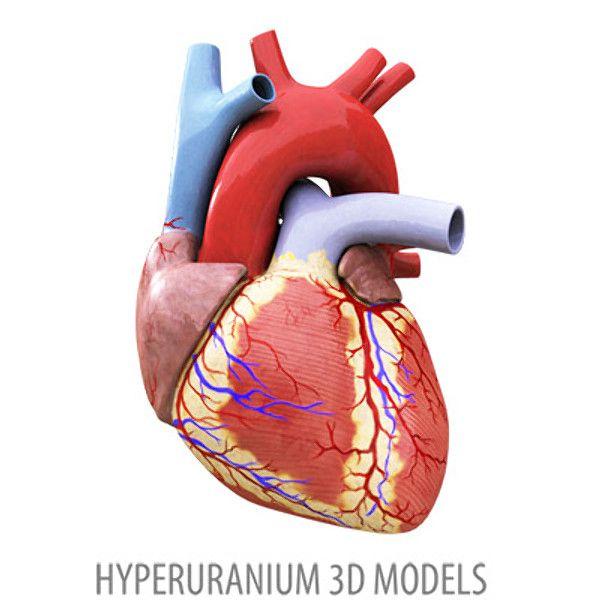 Human Heart 3d Models Turbosquid Com Human Heart Heart Images Hd Heart Images