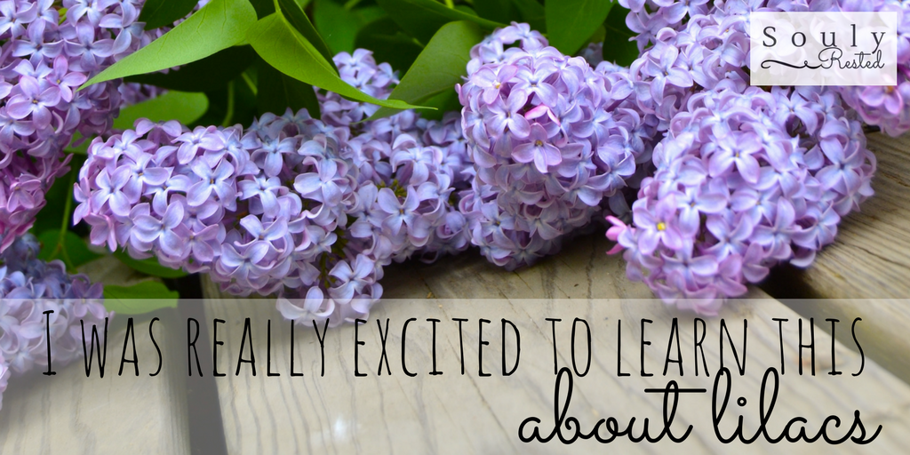 History Of The Lilac Bush