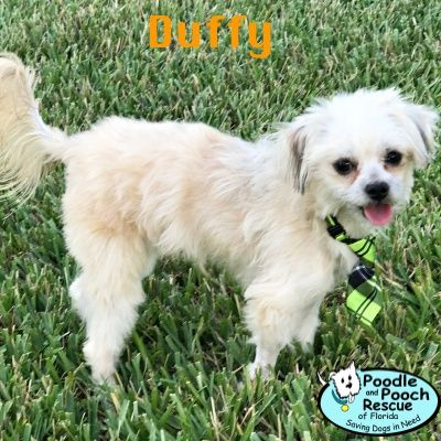 Duffy Is A 10 Month Old 7 Pound Poodle And Maltese Blend Boy Poodle And Pooch Rescue Adoptable Dogs Www Pprfl Org Dog Adoption Pooch Dogs
