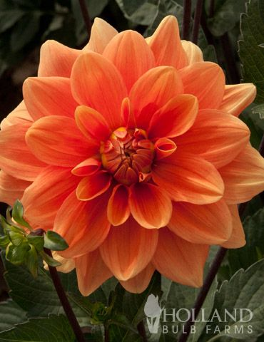 Orange Dahlia Bing Images Orange Flowering Plants Planting Flowers Dahlia