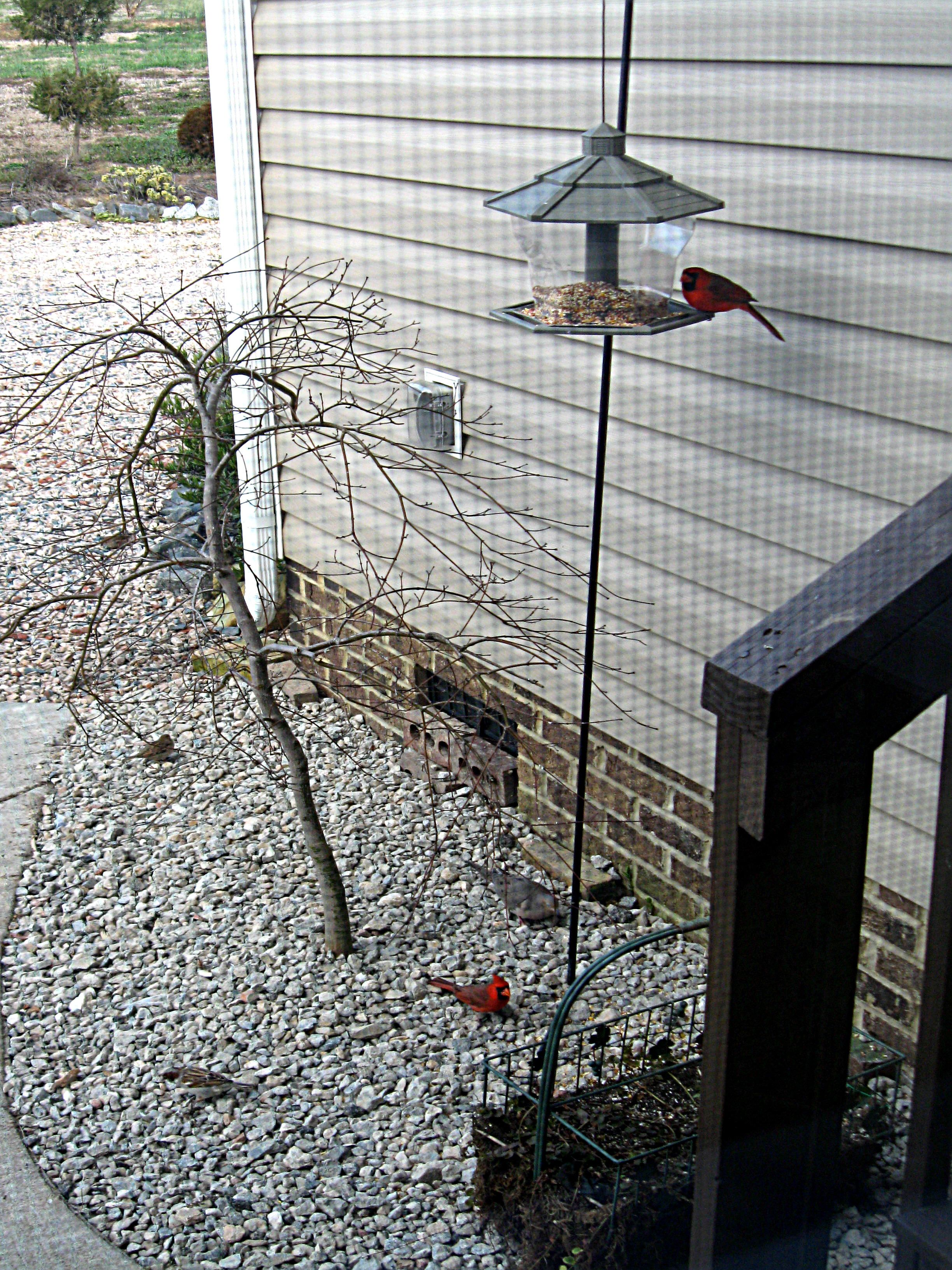 Loftis Backyard...Red Birds,Doves,More