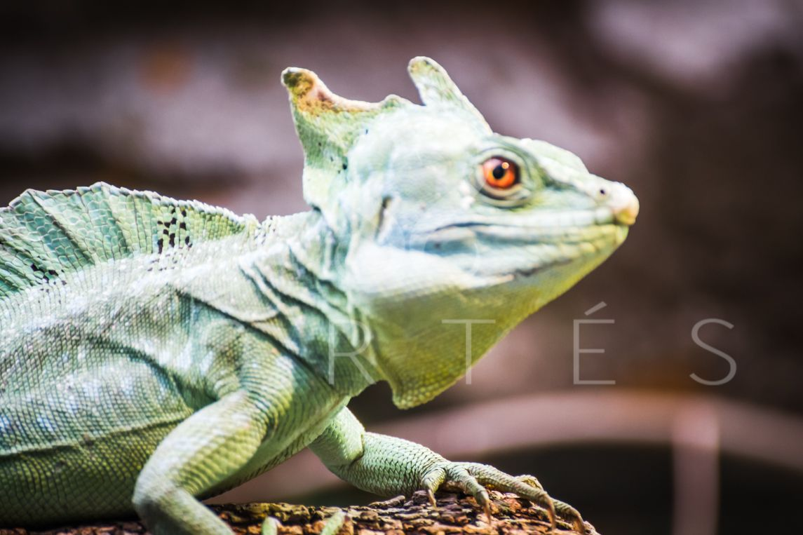 chameleon, scaly lizard skin resting in the sun http://fernandocortes.com/royaltyfreeimages/forcommercialuse/chameleon-scaly-lizard-skin-resting-in-the-sun-6/   #african #animal #antimena #baby #background #black #blue #branch #bright #camouflage #chameleon #chameleons #climb #close #close-up #color #colorful #creature #cute #eye #eyes #female #forest #fun #green #grumpy #humor #isolated...