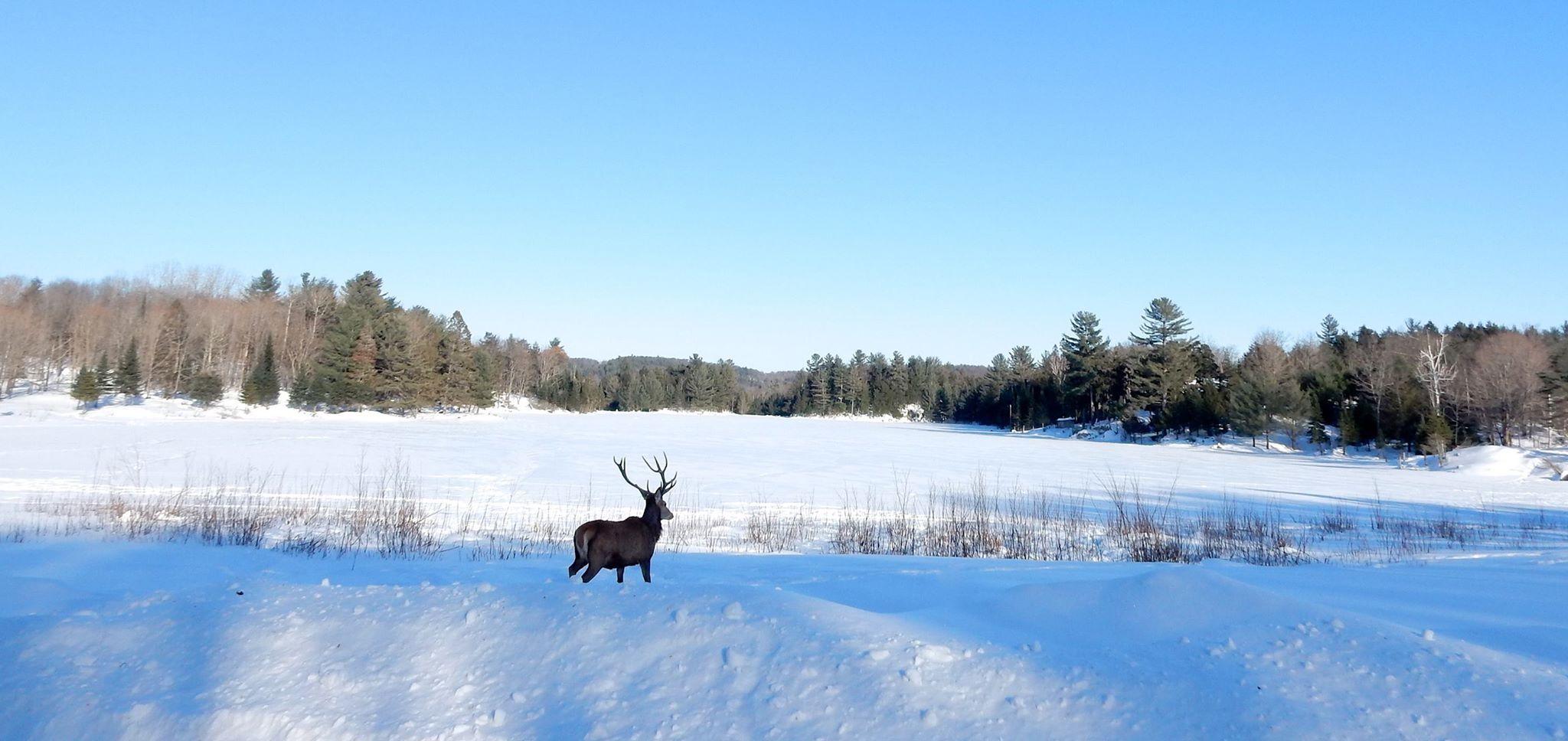 Canada deer