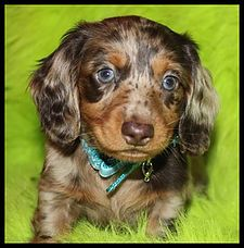 Breeding Quality Ckc Reg Miniature Dachshunds For Health Great