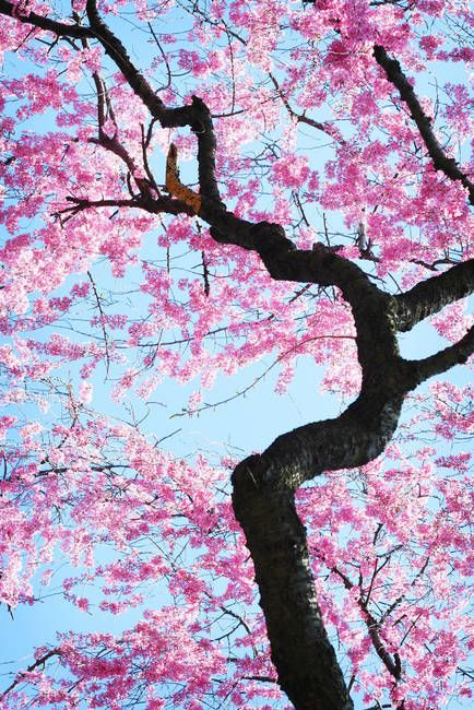 Cherry Blossoms By Sherri Jackson Nature Photography Flowers Poster Color Painting Blossoms Art